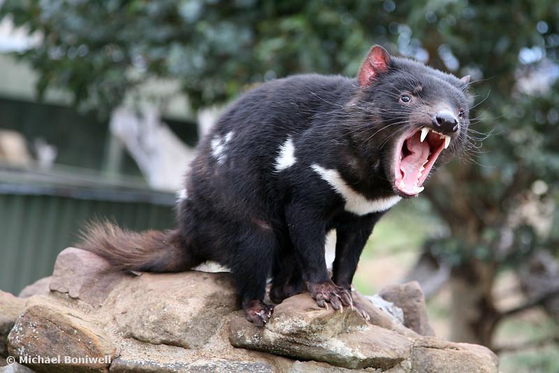 Tasmanian Devil, Australia