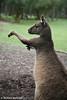 """""""Boxing"""" Kangaroo."""