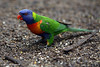 Rainbow Lorikeet.