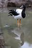 Magpie Goose.