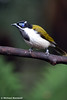 Blue Faced Honey Eater.
