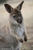 Young Wallabie