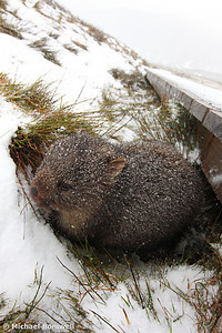 Winter Wombat, Overland Trail, Cradle Mountain National Park, Tasmania, Australia
