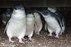 Australian baby penguins huddle for warmth