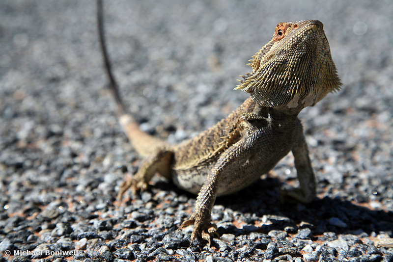 Lizard on Road, New South Wales Outback, Australia