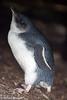 Australian baby penguin, Philip Island, Australia
