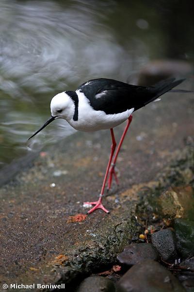 Black-Winged Stilt.
