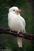 White Kookaburra.