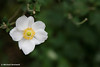 Wildflower #1.