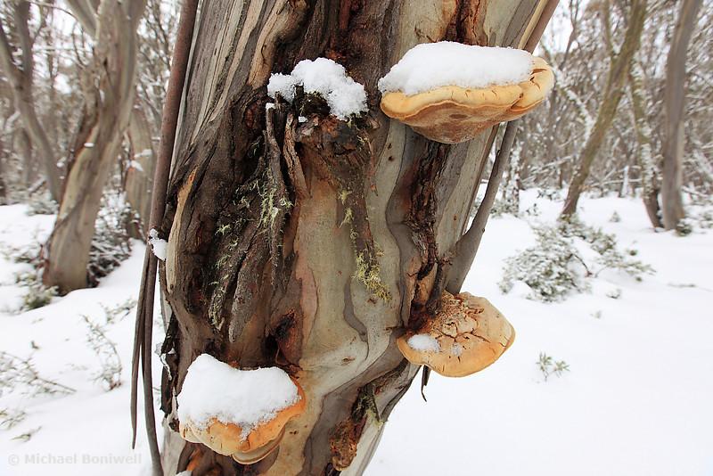 Winter Fungi, Mt Stirling, Australia