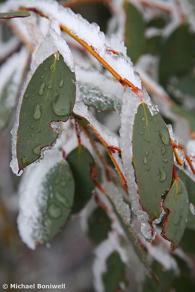 Snowbound Gum-leaves. 2006.