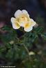 Rose #1.