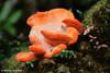 Fungi, Frenchmans Cap, Franklin-Gordon Wild Rivers National Park, Tasmania