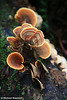 Fungi on Tree, Otway Ranges, Great Ocean Road, Victoria, Australia