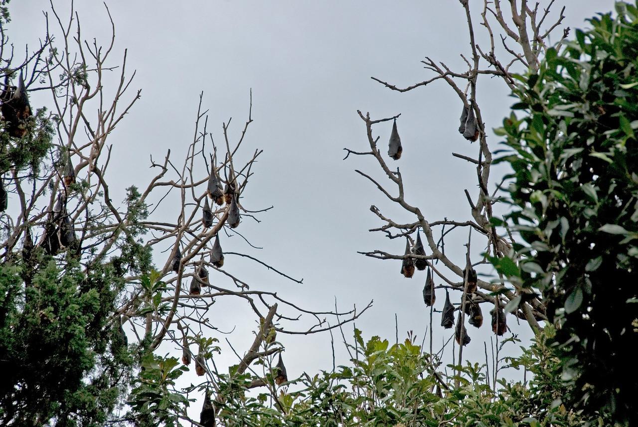 Bats in Botanical Garden - Sydney, NSW, Australia