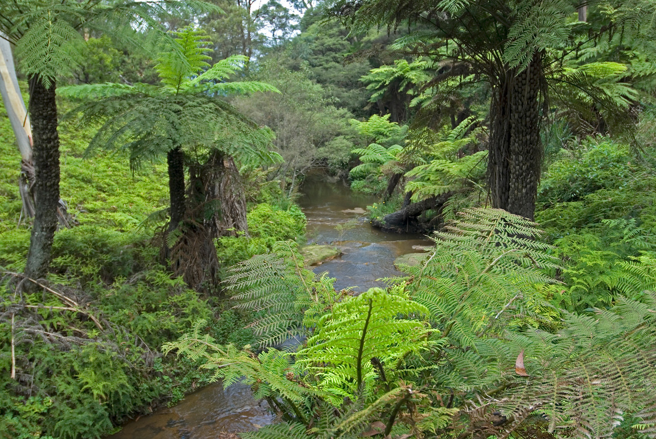 Fern Trees and Stream, Blue Mountains National Park - NSW, Australia