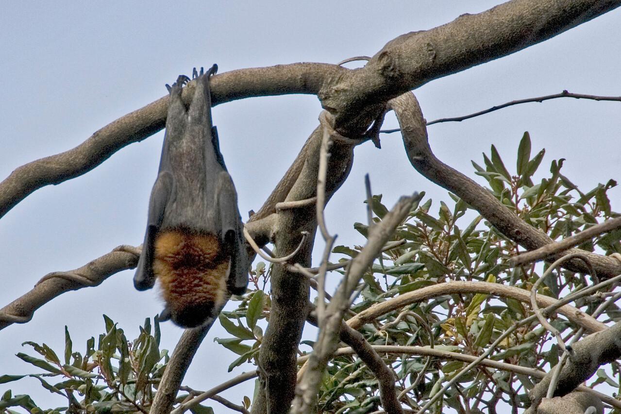 Bat in Botanical Garden - Sydney, NSW, Australia