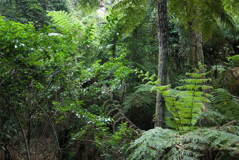 Fern Trees In Forest, Blue Mountains National Park - NSW, Australia