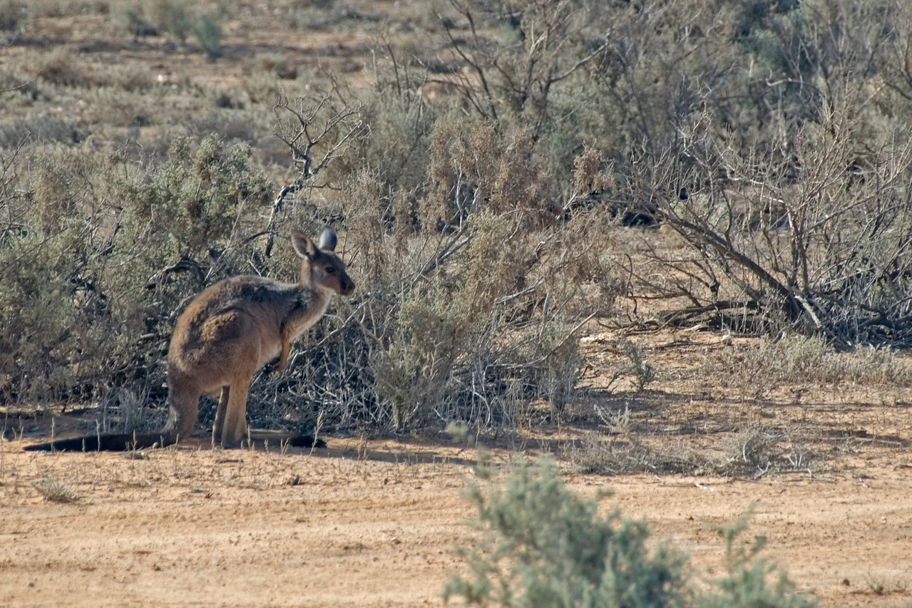 Kangaroo 1 - Mungo National Park, New South Wales, Australia