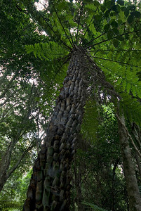 Looking Up A Fern Tree, Blue Mountains National Park - NSW, Australia