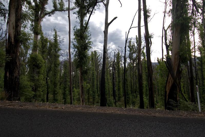 New Growth From Bush Fire - Kosciusko National Park, New South Wales, Australia