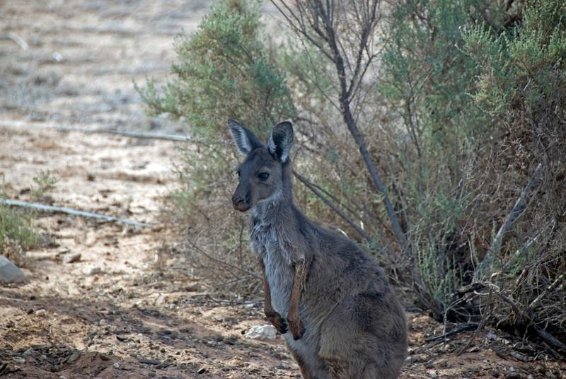 Kangroo 2 - Mungo National Park, New South Wales, Australia