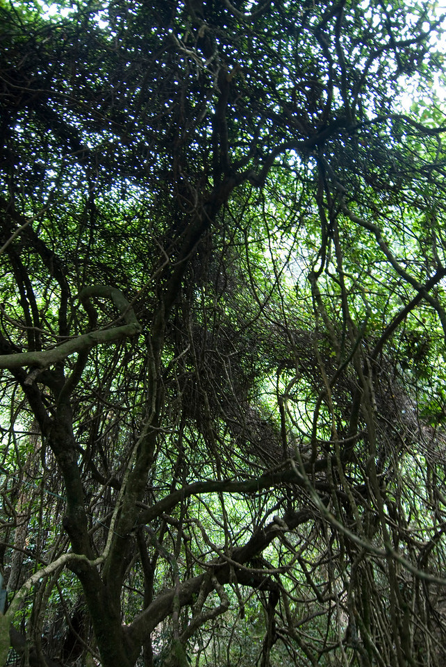 Knotty Trees, Blue Mountains National Park - NSW, Australia