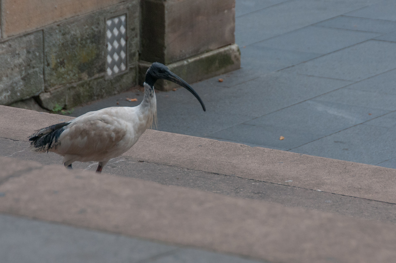 Bird in Hyde Park, Sydney, Australia