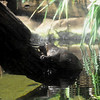 Platypus - Sydney Aquarium<br /> <br /> Kacsacsőrű emlős - Sydney Akvárium
