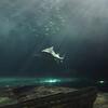 Jaws - Sydney Aquarium<br /> <br /> Cápa - Sydney Akvárium