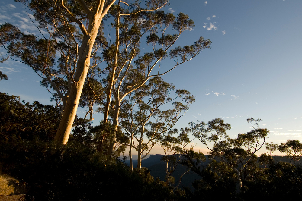 Eucalyptus trees at sunset, Blue Mountain NP, Australia