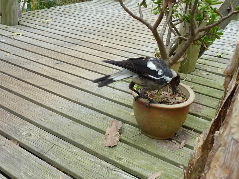 A cheeky little magpie