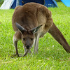 Kangaroo in the campground