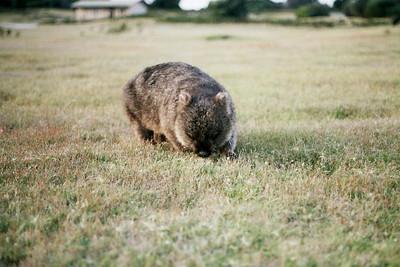 Narawtapu - Bakers Beach - wombat