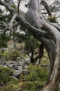 Central Plateau - Pencil pine