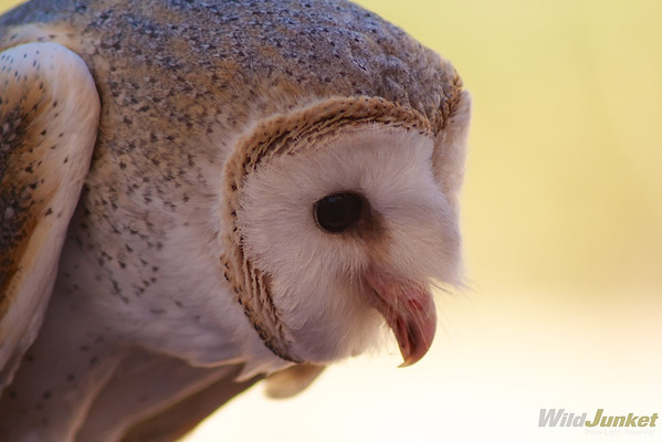 A beautiful barn owl