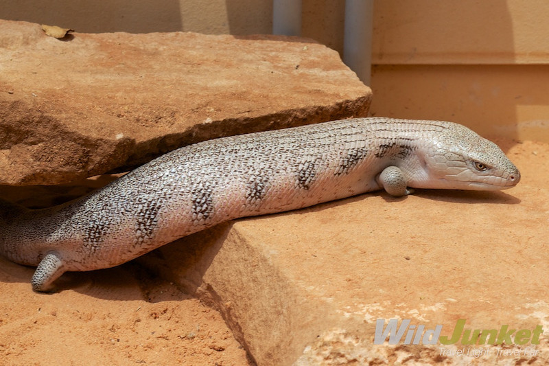 Blue-toned skink