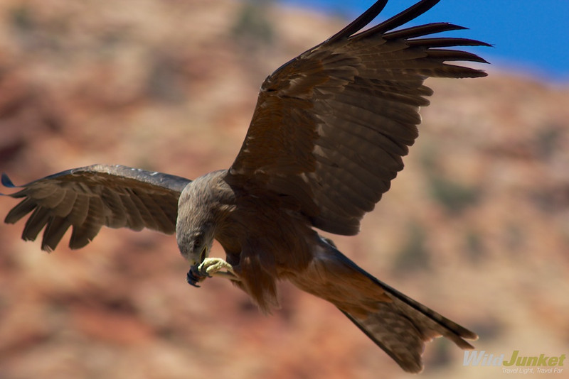 Eagle in Alice Springs Desert Park