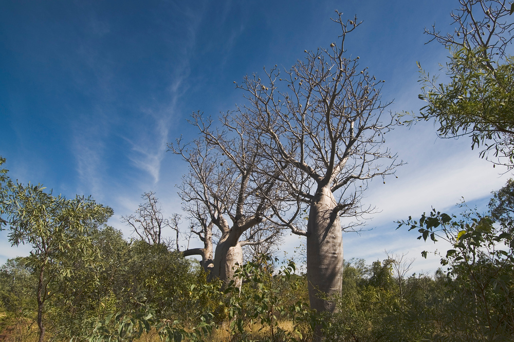 Boab Trees in Gregory National Park in the Northern Territory, Australia
