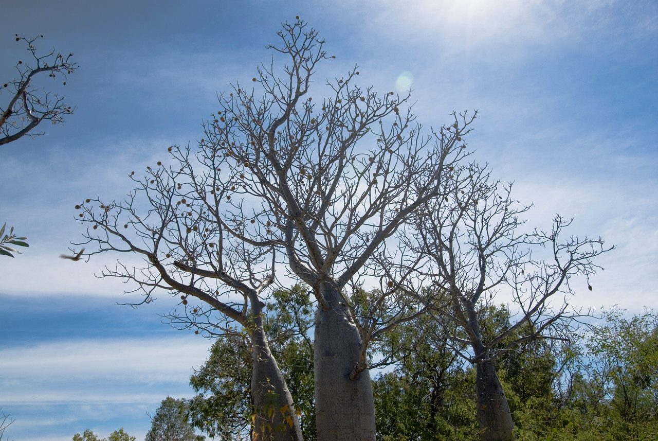 Boab Trees 2, Gregory National Park - Northern Territory, Australia