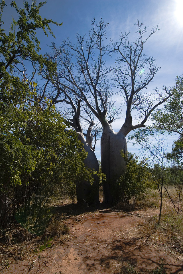 Boab Trees 3, Gregory National Park - Northern Territory, Australia