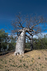 Gregory Tree 3, Gregory National Park - Northern Territory, Australia