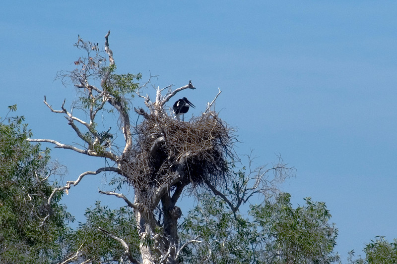 Bird in Nest, Alligator River, Kakadu National Park - Northern Territory, Australia