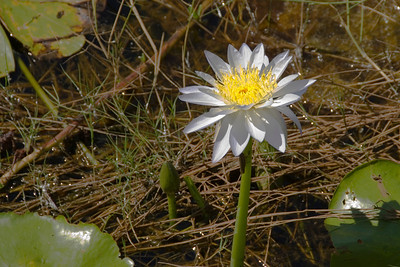 Pond Flower 2, Kakadu National Park - Northern Territory, Australia
