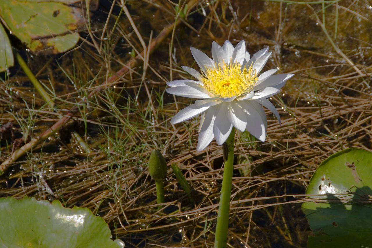 Pond Flower 2, Kakadu National Park - Northern Territory, Australia