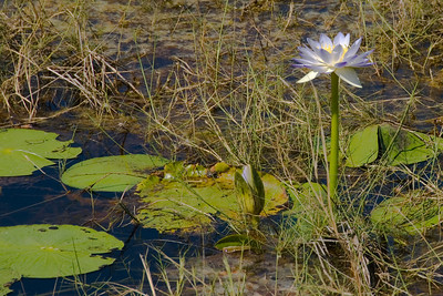 Pond Flower, Kakadu National Park - Northern Territory, Australia