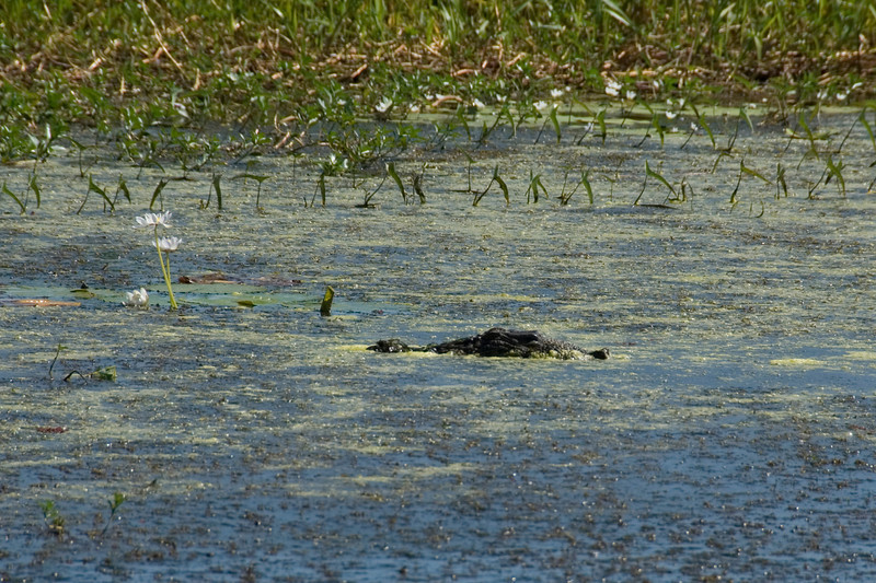 Submerged Crocodile, Alligator River, Kakadu National Park - Northern Territory, Australia