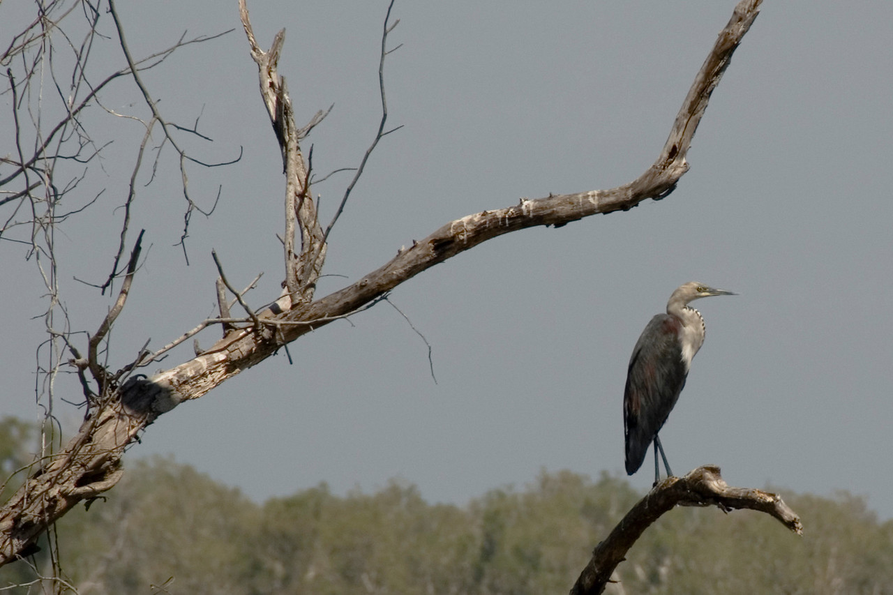 Bird in Dead Tree, Alligator River, Kakadu National Park - Northern Territory, Australia