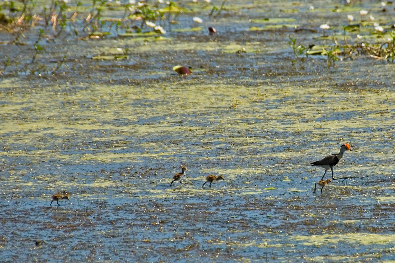 Bird and Chicks, Alligator River, Kakadu National Park - Northern Territory, Australia
