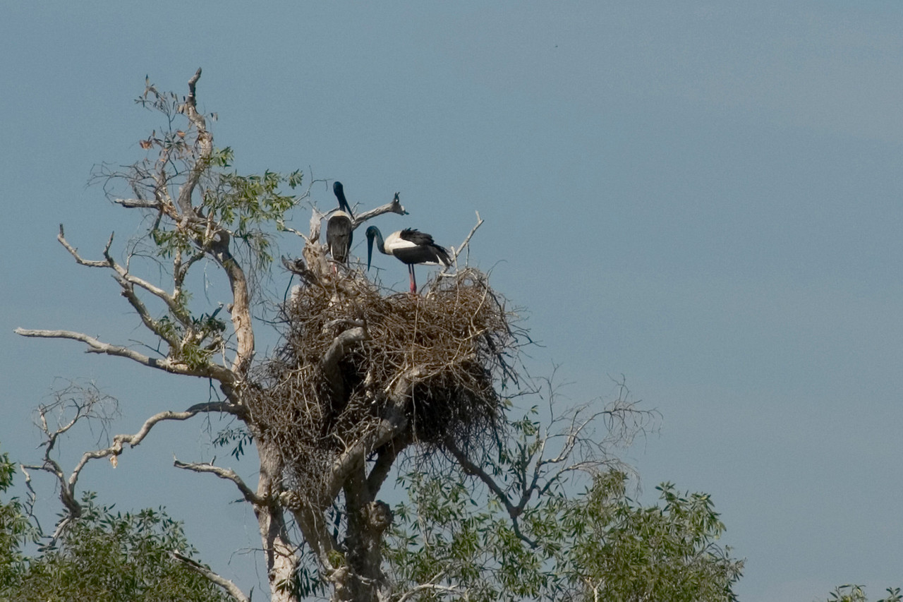 Birds in Nest, Alligator River, Kakadu National Park - Northern Territory, Australia